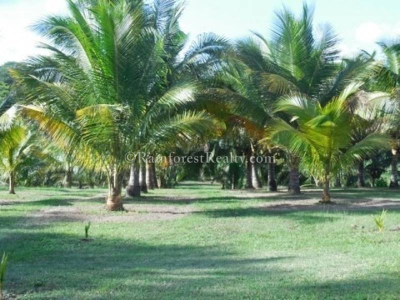 Belize Coconut Plantation Trees