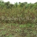 belize-25-acres-for-sale-farm22
