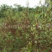 belize-25-acres-for-sale-farm32