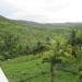 Large Lychee Farm in Belize 41