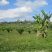 20-acre-farm-near-spanish-lookout-belize-8