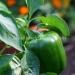 Veggie garden (4)