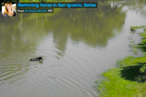 Horse in Belize cooling off in the Macal River