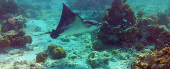 Belize Stingray