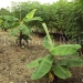 belize-25-acres-for-sale-farm7