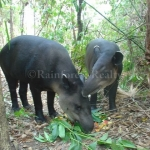 The Belize Zoo ceibo and navidad