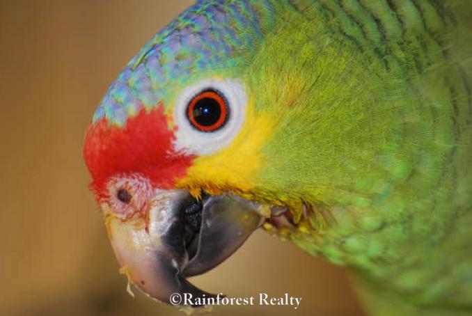 Belize Estate For Sale San Ignacio Parrot