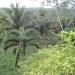 Large Lychee Farm in Belize 38