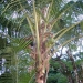 Beautiful Coconut Palm in Belize